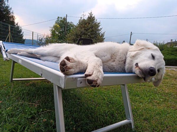 cane addomesticato